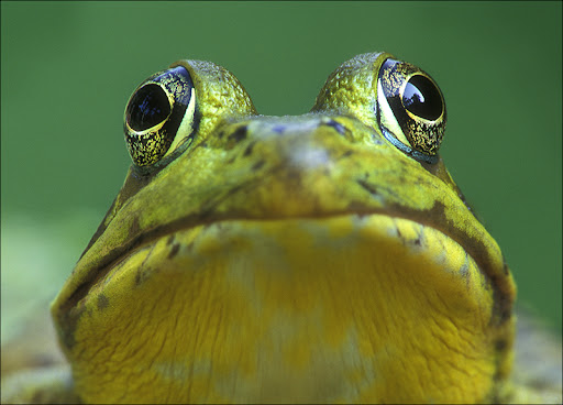 green frog Amphibians & Reptiles