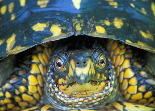 Eastern Box Turtle Amphibians & Reptiles