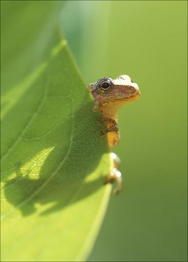 peeper peeping Amphibians & Reptiles