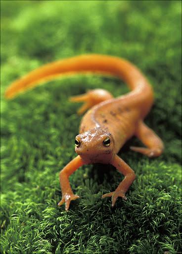Red Eft Amphibians & Reptiles