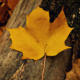 by Chandra Whitfield - Nature Up Close Leaves & Grasses ( nature, autumn, fall, yellow, leaf, leaves, photography )