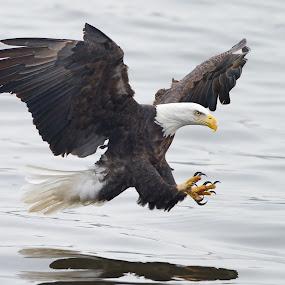 Bald Eagle Fishing by Martin Belan - Animals Birds ( iowa, eagle, nature, mississippi river, bald eagle, wildlife, raptors, , Free, Freedom, Inspire, Inspiring, Inspirational, Emotion, bird, fly, flight )