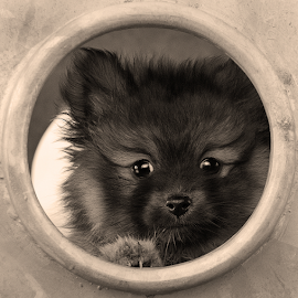 HIDE AND SEEK  by Michael  M Sweeney - Animals - Dogs Playing ( playing, playground, playful, nikonshooter, play, puppy, michael m sweeney, cute, dog, pomeranian, playtime )