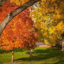 Park Love by Coleen Sullivan - City,  Street & Park  City Parks ( orange, park, colorful, autumn, fall, trees, yellow, geese )