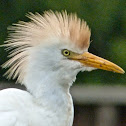 Cattle egret (breeding plumage)