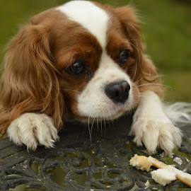 Misty stealing from the birds by Andy Dell - Animals - Dogs Playing ( sneaky, cavalier, crafty, cute, dog )