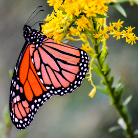 Monarch Butterfly by Diane Davis - Animals Insects & Spiders