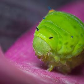 green caterpillar by Wan Faisal - Nature Up Close Gardens & Produce