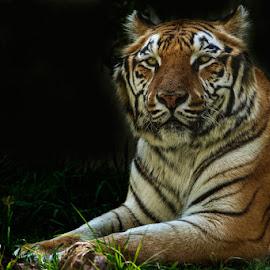 TIGER by Alfonso Emmanuel Galina - Animals Lions, Tigers & Big Cats ( tiger, zoo, puebla )