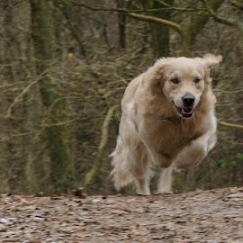 runnin' by Gerd Moors - Animals - Dogs Running ( white, action, forest, dog, running, golden retriever,  )