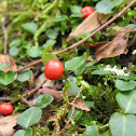 Partridge Berry