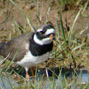 Common Ringed Plover/ Chorlitejo grande
