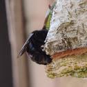 Sonoran Carpenter Bee