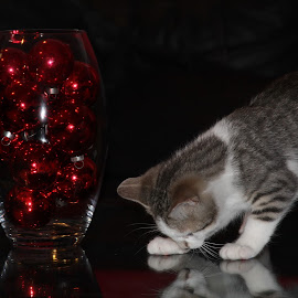 reflection by Steve Randall - Animals - Cats Kittens ( playing, cat, reflection, kitten, christmas,  )