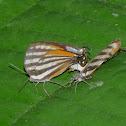 Lycaenid butterflies matting