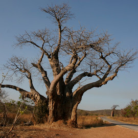 The Baobab Tree by Rix Sticks - Landscapes Travel ( zambezi valley, lonely road, baobab, upside down tree, adansonia digitata, dry african landscape )