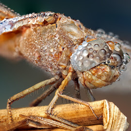 AERO by Ondrej Pakan - Animals Insects & Spiders ( macro, dew, dew drops, dragonfly, insect )