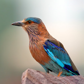 Indian Roller by Devki Nandan - Animals Birds