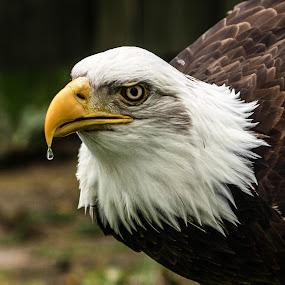 Waterdrop by Garry Chisholm - Animals Birds ( bird, garry chisholm, eagle, nature, wildlife, prey, raptor, bald,  )