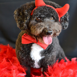 Burning Love by Janet Buddington - Animals - Dogs Portraits ( happy pup, pet costume, little devil, poodle mix,  )