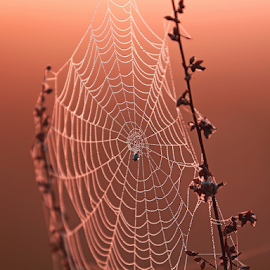 by Blaz Crepinsek - Nature Up Close Webs ( canon, macro, nature, morning )