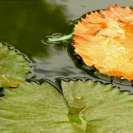 Lily Pads by Jennifer Wheatley-Wolf - Nature Up Close Leaves & Grasses ( water, leaves, lily pads, pond )