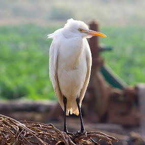 bids portrait by Nirav Raval - Animals Birds ( bird, flying, fly, white bird, white, bird flying, portrait )