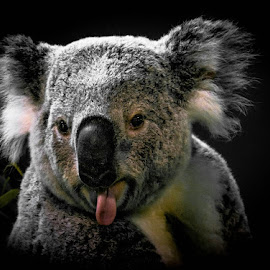 Special. K 2 by Gregg Pratt - Animals Other Mammals ( koala )