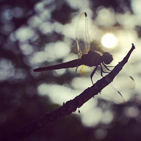 Sun kiss dragonfly by Bibha Barssha Mohanty - Animals Insects & Spiders (  )