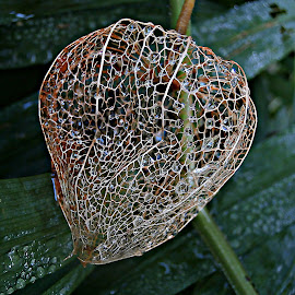 Heart Is Elsewhere by Marija Jilek - Nature Up Close Other plants ( nature, lace lantern, empty quiver, plants, physalis alkekengi, pink lantern )
