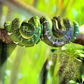 Two Emerald African Pythons by Florent Alezi - Animals Reptiles