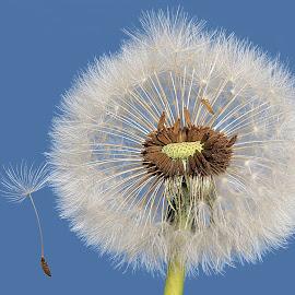 Dandy by Besnik Hamiti - Nature Up Close Other plants ( sky, dandelion, kosovo, chute, flower )