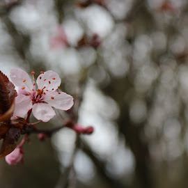 Plum bloom by Priya Sampath - Nature Up Close Trees & Bushes ( blooms, green, trees, buds, flower )