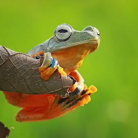 Wait Rain by Thomp Jerry - Animals Amphibians ( macrodaily, macro, animals, macrophotography, frog, macro photography, frogs, macro shot, animal )