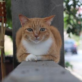 Sunkiss by Siti Hana Iryani - Animals - Cats Portraits