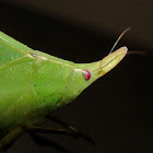 Spike-headed false-leaf katydid