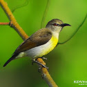 Purple-rumped Sunbird - Female