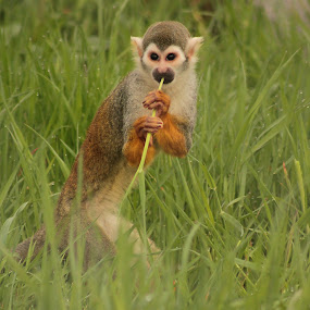 Trying to eat here. by Kelly Williams - Animals Other ( tame, wild, zoo, captive, wildlife, africa, monkey, animal )
