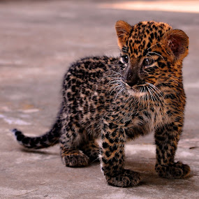 The Lost Cub 1 by Abhinav Ganorkar - Animals Lions, Tigers & Big Cats ( wild, wildlife, cub, leopard, animal,  )