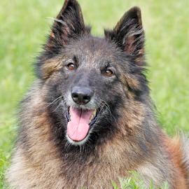 Summer memories by Mia Ikonen - Animals - Dogs Portraits ( resting, belgian shepherd tervueren, happy, beautiful, finland )