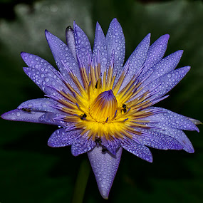 The Nectar by Charliemagne Unggay - Nature Up Close Flowers ( water drops, bees, lily, nature, flower )