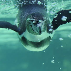 Little Penguin by Leka Huie - Animals Sea Creatures ( ocean park, tokyo, penguin )