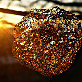 Sunlight Over Lace Lantern At The Dusk by Marija Jilek - Nature Up Close Other plants