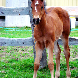 Lay Cee Loper by Kelly More - Animals Horses ( bay, aqha, horse, summer, lacie, quarter horse, foal, baby, young, animal )