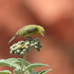 Cape White-eye by Andrew Keys - Animals Birds
