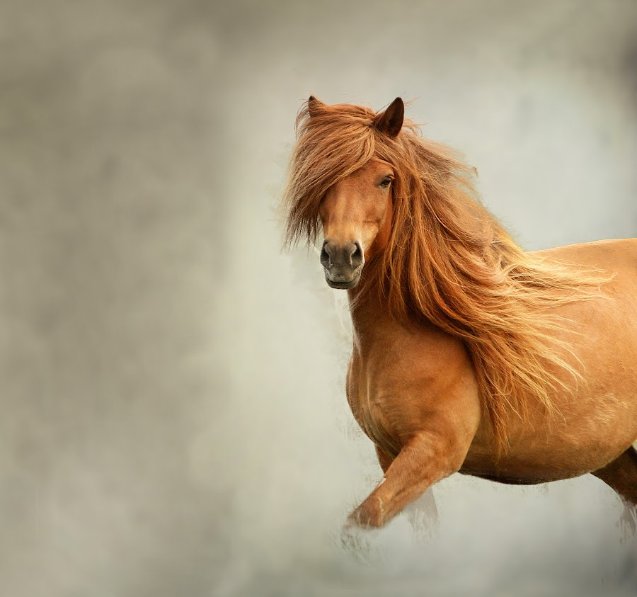 Icelandic horse  by Anna Guðmundsdóttir - Animals Horses ( iceland, icelandic horse, hestur, íslenskur hestur, hores,  )