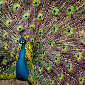 The Peacock by Jacky Photography - Animals Other ( colorful, peacock, animal )