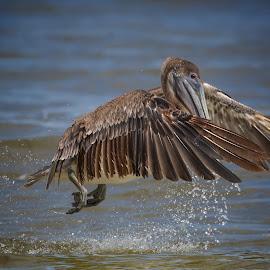 Take off  by Liza Chevres - Animals Birds ( brown pelican juvenile,  )