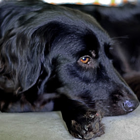 Blue on the couch by Phil Olson - Animals - Dogs Portraits ( black dog, resting, dogs, dog, flat coated retriever,  )