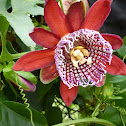 Brazilian Passion Flower